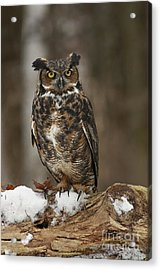 Great Horned Owl Watching You Acrylic Print by Inspired Nature Photography Fine Art Photography