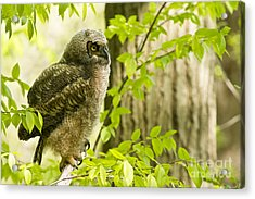 Great Horned Owlet Acrylic Print