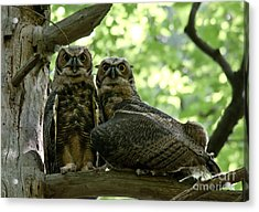 Great Horned Owls Acrylic Print by Cheryl Baxter