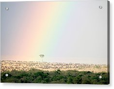 Great Migration Of Wildebeests, Masai Acrylic Print