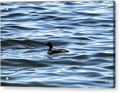 Great Northern Loon Acrylic Print by Matt Molloy