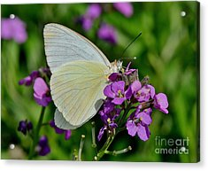 Great Southern White Butterfly Acrylic Print by Kathy Baccari