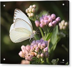 Great Southern White Butterfly On Pink Flowers Acrylic Print by Roena King