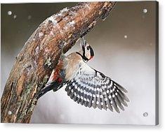 Great Spotted Woodpecker Male Sweden Acrylic Print