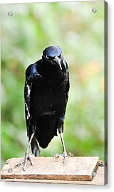 Great Tailed Grackle Acrylic Print by Bonnie Fink