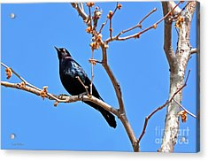 Great-tailed Grackle On A Sunny Spring Day Acrylic Print