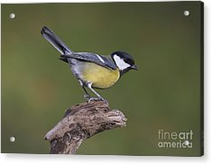 Great Tit  Acrylic Print