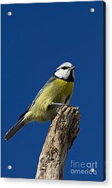 Great Tit On Blue Acrylic Print by Maurizio Bacciarini