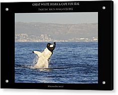 Great White And Seal Acrylic Print by William Buchheit