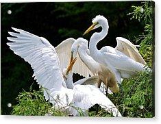Great White Egret Feeding Time Acrylic Print by Paulette Thomas