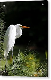 Great White Egret In The Tree Acrylic Print by Sabrina L Ryan