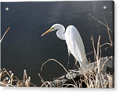 Great White Egret Acrylic Print by Juan Romagosa
