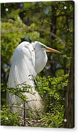 Great White Egret On Nest Acrylic Print by Judith Morris