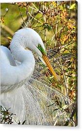 Great White Egret Portrait Acrylic Print by Kathy Baccari