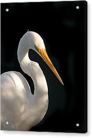 Great White Egret Portrait. Merritt Island N.w.r. Acrylic Print