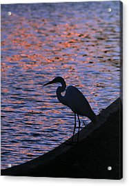 Great White Egret Silhouette  Acrylic Print