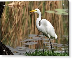 Great White Egret Taking A Stroll Acrylic Print by Sabrina L Ryan