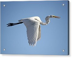 Great White Egret Wings Down Acrylic Print by Paulette Thomas
