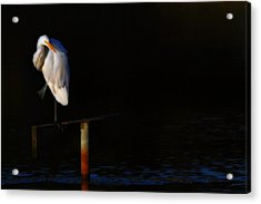 Great White Evening Acrylic Print