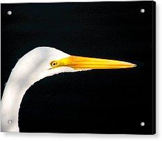 Great White Headshot. Merritt Island N.w.r. Acrylic Print