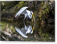 Great White Heron Fishing Acrylic Print