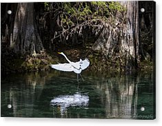 Great White Heron In Flight Acrylic Print by Charles Warren
