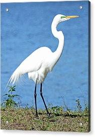 Great White Heron Acrylic Print by Julie Cameron