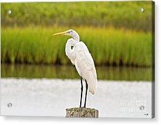 Great White Heron Acrylic Print by Scott Pellegrin