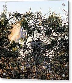Great White Heron With Chicks Acrylic Print by Rosalie Scanlon