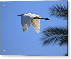 Acrylic Print featuring the photograph Great White In Flight by Penny Meyers