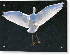 Great White Landing Acrylic Print