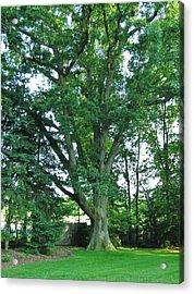 Great White Oak Acrylic Print by John Wartman