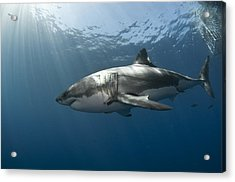 Great White Rays Acrylic Print by David Valencia