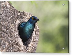 Greater Blue-eared Glossy-starling Acrylic Print by Andrew Schoeman