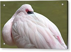 Greater Flamingo Acrylic Print