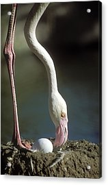 Greater Flamingo And Egg Acrylic Print by M. Watson