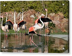 Greater Flamingos Acrylic Print by George Atsametakis