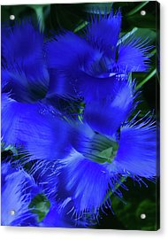 Acrylic Print featuring the photograph Greater Fringed Blue Gentian by Gregory Scott