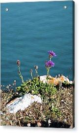 Greater Knapweed (centaurea Scabiosa) Acrylic Print by Annie Haycock