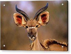 Greater Kudu Acrylic Print by Tony Camacho/science Photo Library