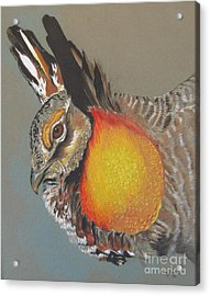 Greater Prarie Chicken Acrylic Print