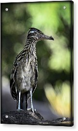 Greater Roadrunner  Acrylic Print by Saija  Lehtonen