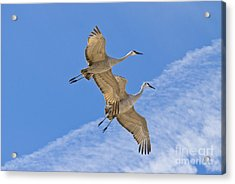 Greater Sandhill Cranes In Flight Acrylic Print by William H Mullins