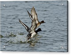 Greater Scaup Pair Acrylic Print by Anthony Mercieca
