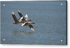 Greater White-fronted Geese In Flight Series 4 Acrylic Print