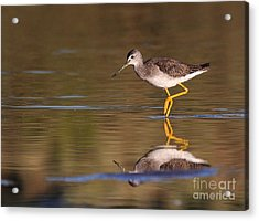 Greater Yellow Legs Acrylic Print by Ruth Jolly