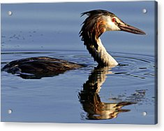 Acrylic Print featuring the photograph Grebe At Sunset by Charles Lupica