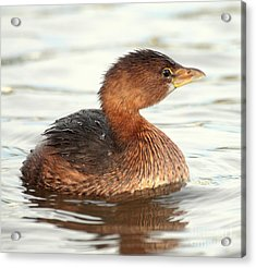 Grebe In Morning Light Acrylic Print