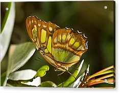 Green And Brown Tropical Butterfly Acrylic Print