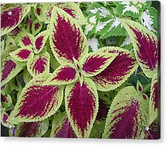 Green And Purple Coleus Acrylic Print by Dusty Reed